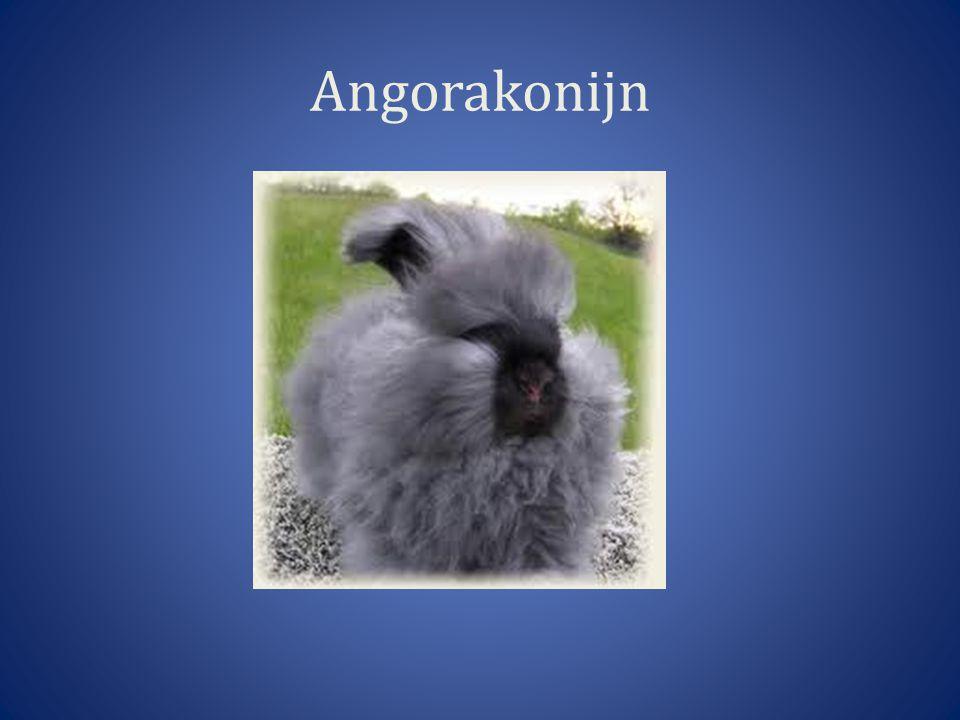 Angorakonijn