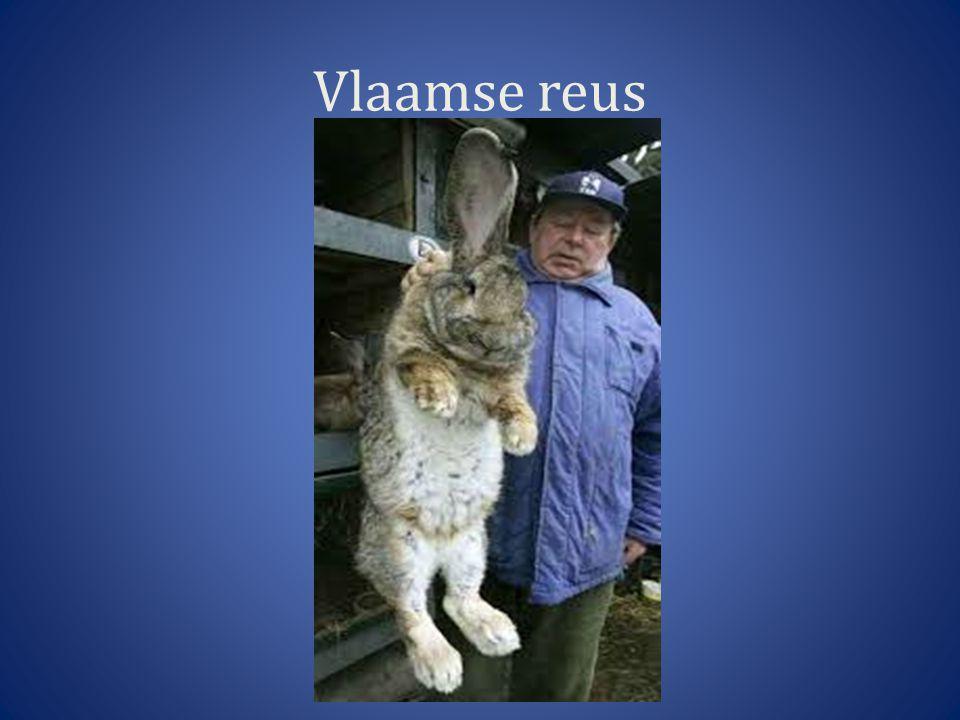 Vlaamse reus