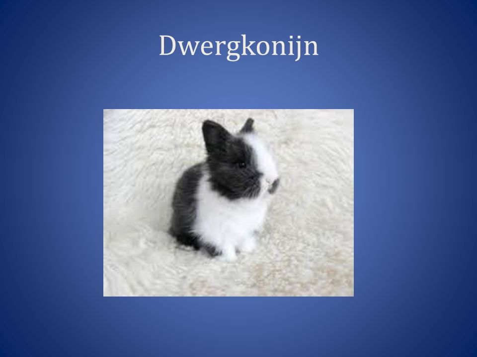 Dwergkonijn