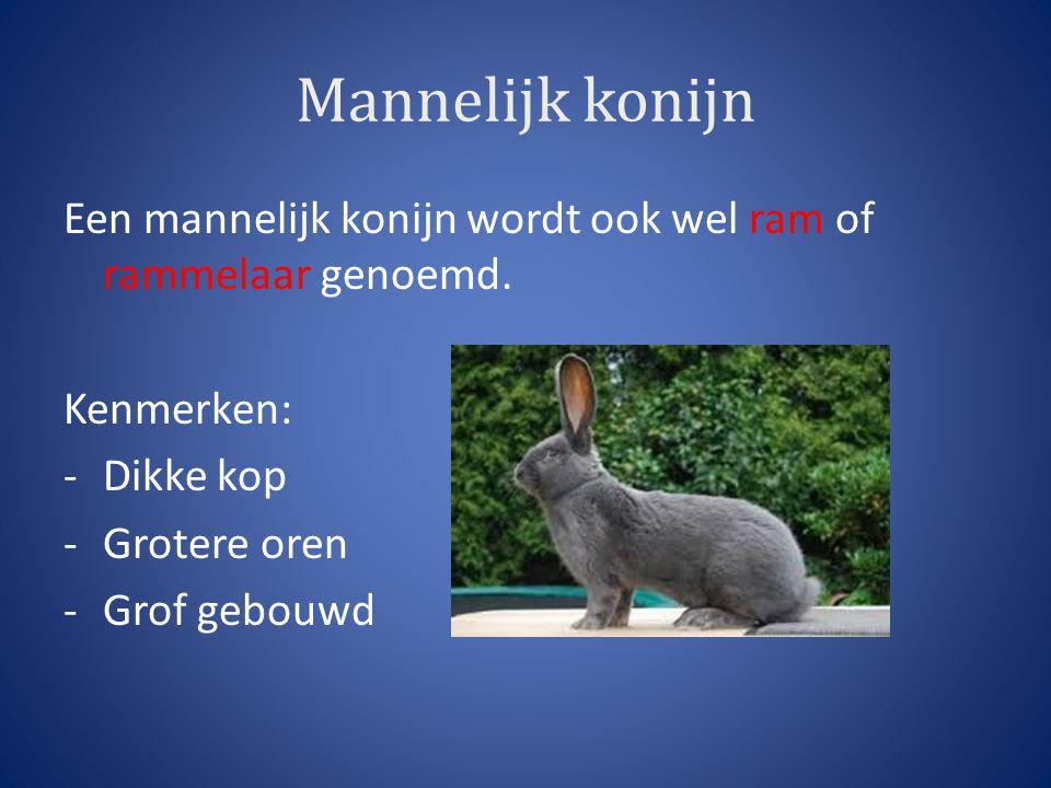 Mannelijk konijn Een mannelijk konijn wordt ook wel ram of rammelaar genoemd. Kenmerken: -Dikke kop -Grotere oren -Grof gebouwd