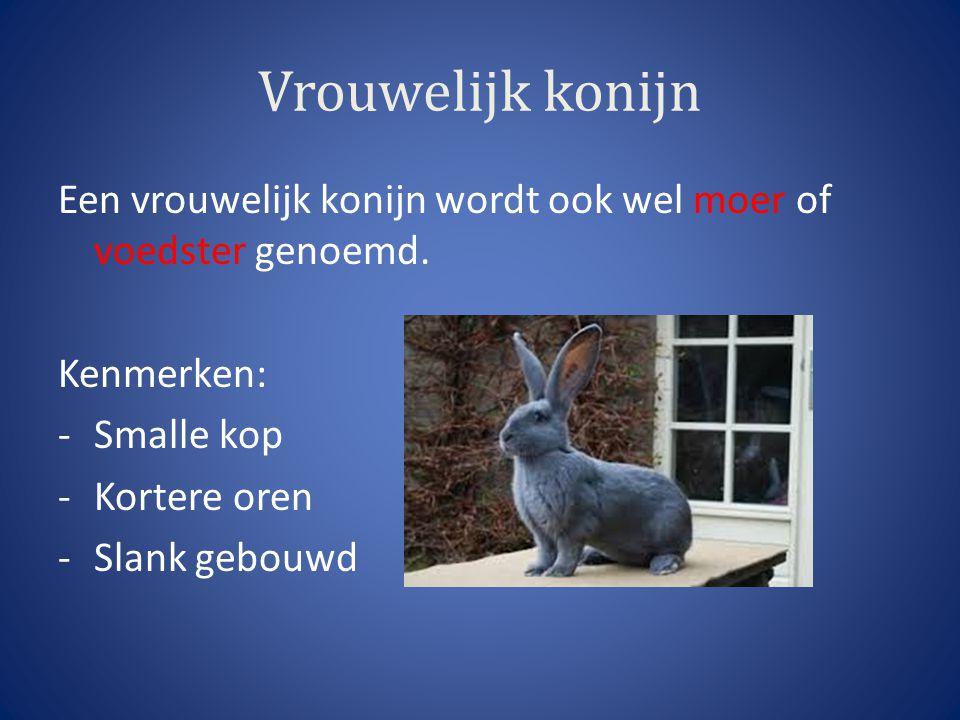 Vrouwelijk konijn Een vrouwelijk konijn wordt ook wel moer of voedster genoemd. Kenmerken: -Smalle kop -Kortere oren -Slank gebouwd