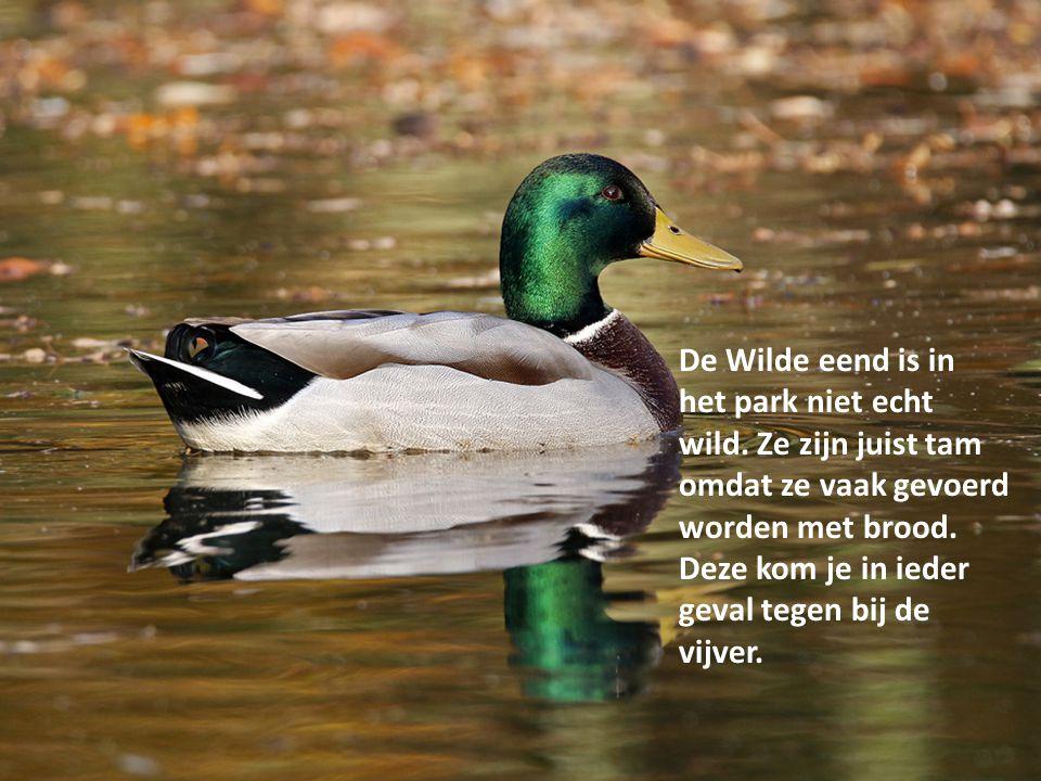 De Wilde eend is in het park niet echt wild. Ze zijn juist tam omdat ze vaak gevoerd worden met brood. Deze kom je in ieder geval tegen bij de vijver.