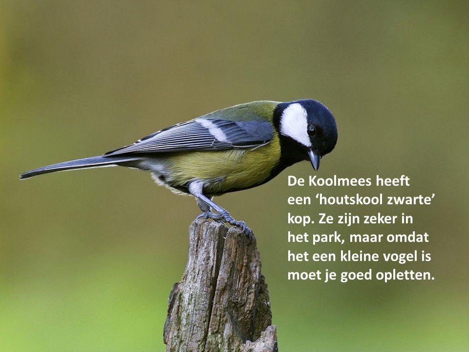 De Koolmees heeft een 'houtskool zwarte' kop. Ze zijn zeker in het park, maar omdat het een kleine vogel is moet je goed opletten.