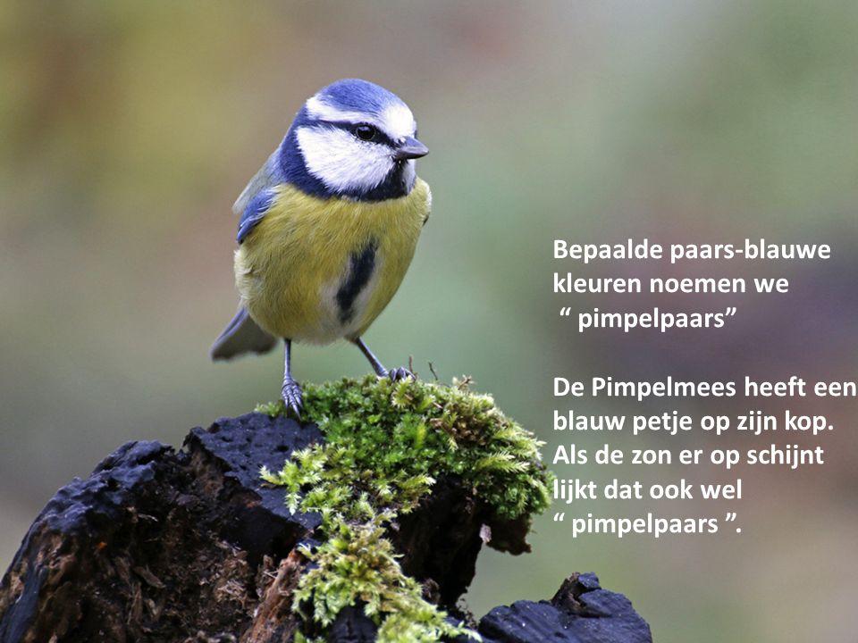 """Bepaalde paars-blauwe kleuren noemen we """" pimpelpaars"""" De Pimpelmees heeft een blauw petje op zijn kop. Als de zon er op schijnt lijkt dat ook wel """" p"""