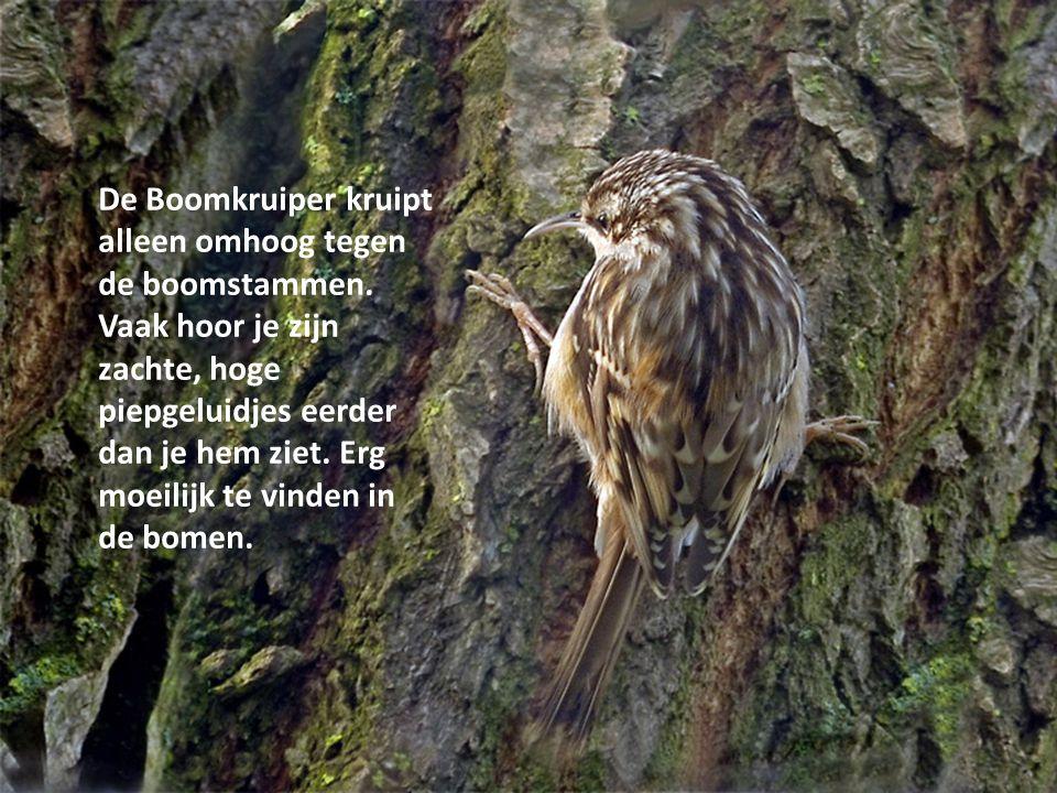 De Boomkruiper kruipt alleen omhoog tegen de boomstammen. Vaak hoor je zijn zachte, hoge piepgeluidjes eerder dan je hem ziet. Erg moeilijk te vinden