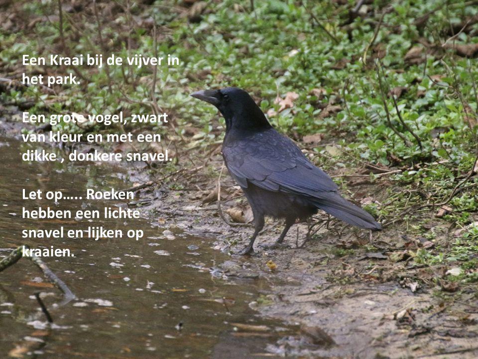 Een Kraai bij de vijver in het park. Een grote vogel, zwart van kleur en met een dikke, donkere snavel. Let op….. Roeken hebben een lichte snavel en l