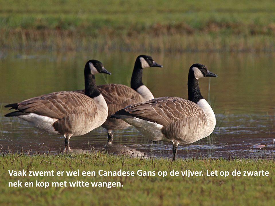 Vaak zwemt er wel een Canadese Gans op de vijver. Let op de zwarte nek en kop met witte wangen.