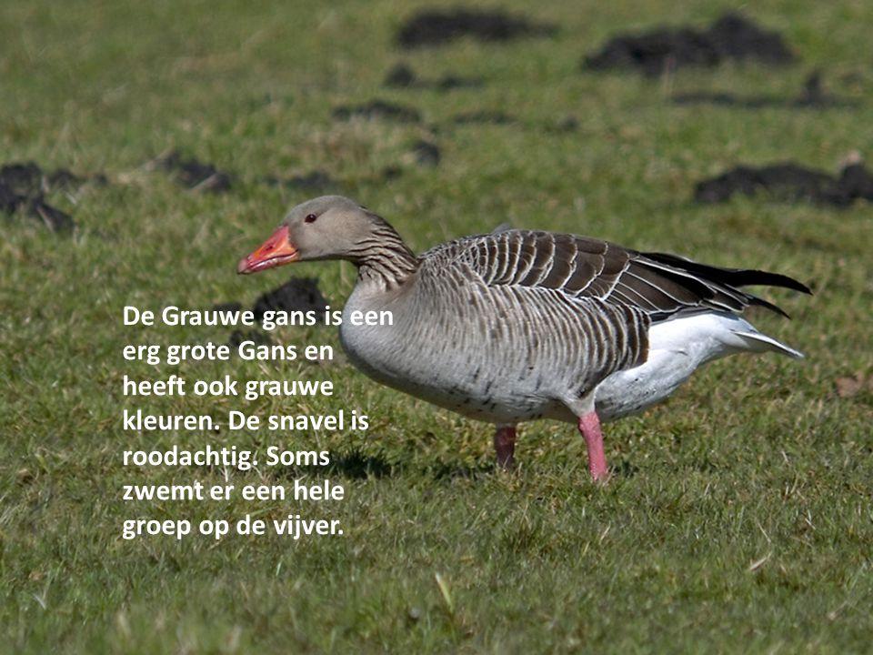 De Grauwe gans is een erg grote Gans en heeft ook grauwe kleuren. De snavel is roodachtig. Soms zwemt er een hele groep op de vijver.