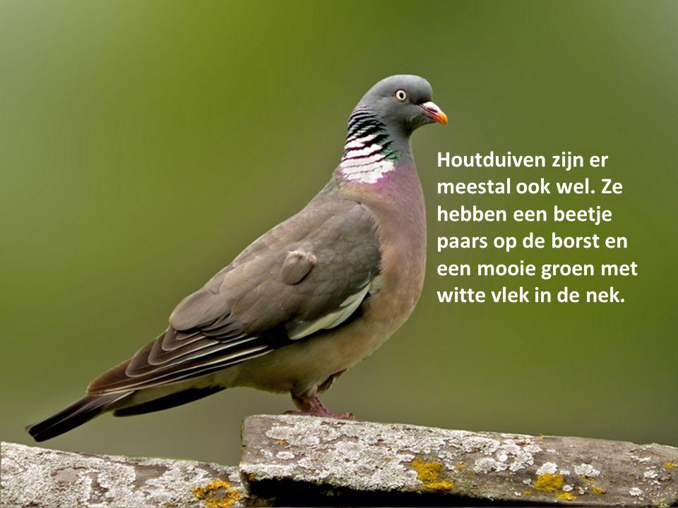 Houtduiven zijn er meestal ook wel. Ze hebben een beetje paars op de borst en een mooie groen met witte vlek in de nek.