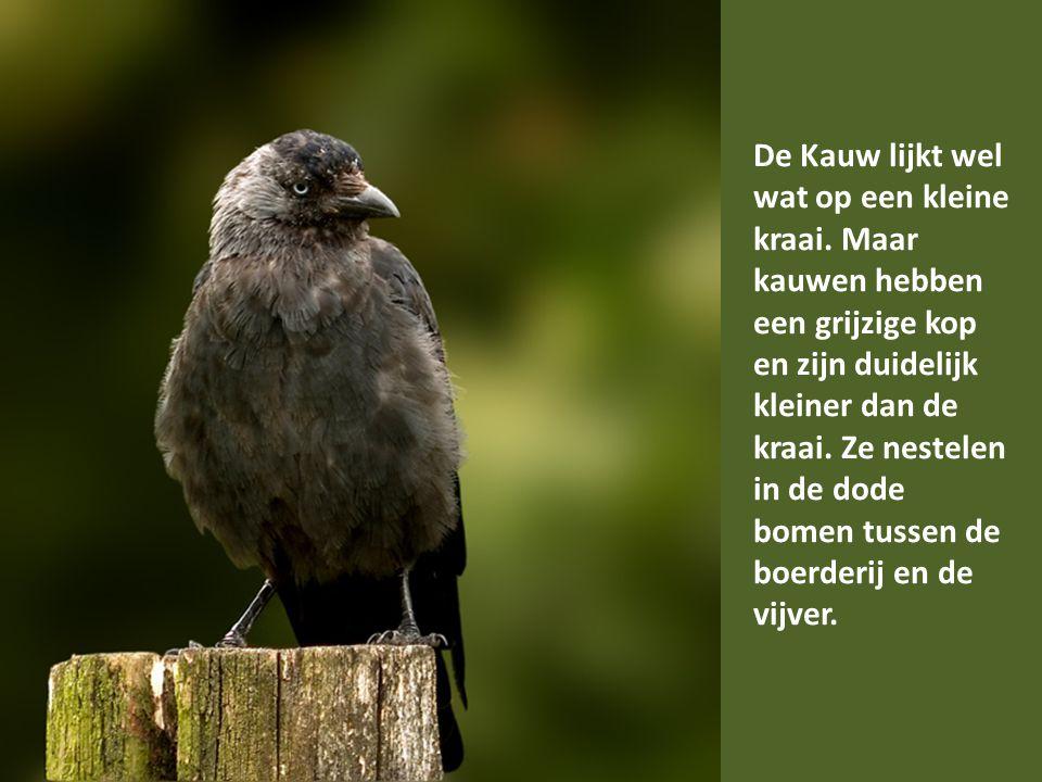 De Heggenmus is een klein bruinachtig en onopvallend vogeltje.