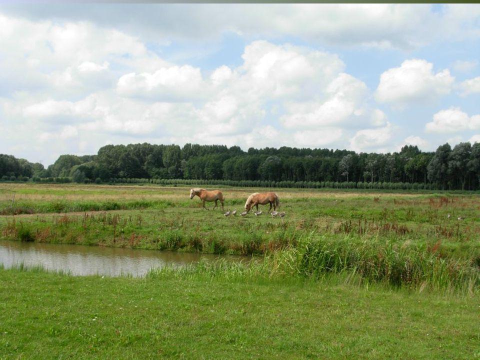 Eenden – ganzen – schapen – paarden koeien. Het is er allemaal in de Biesbosch.