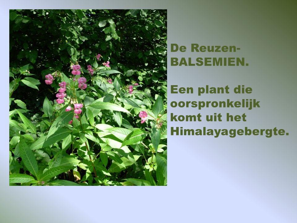 Kades vol bloemen zoals hier kattenstaart. Sinds 1988 komen bevers weer voor en zijn uitgezet door Staatsbosbeheer.
