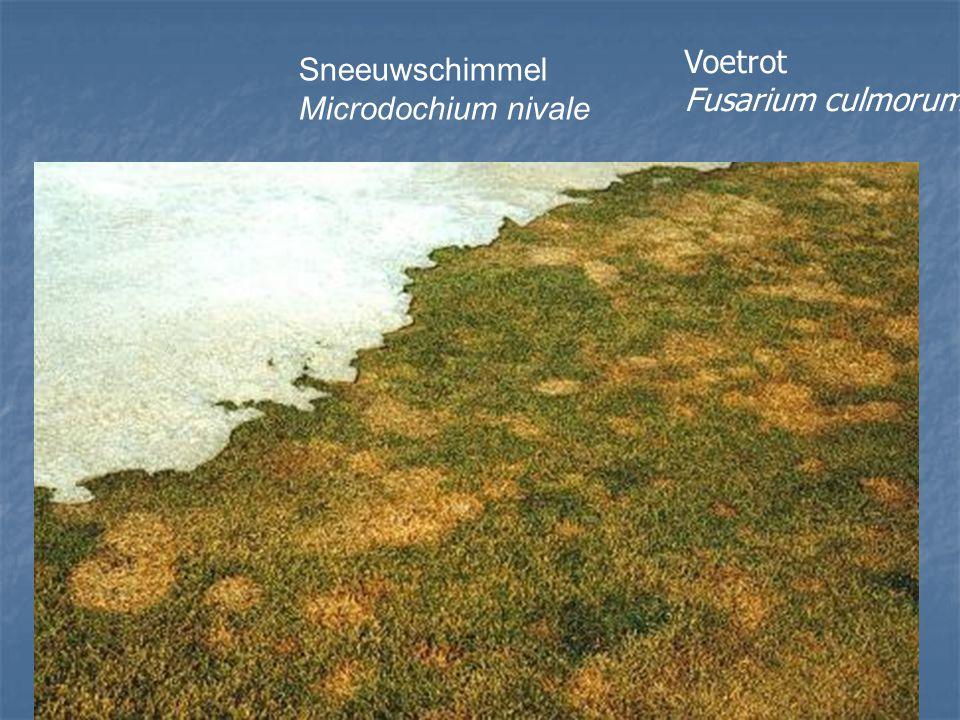 Sneeuwschimmel Microdochium nivale Voetrot Fusarium culmorum