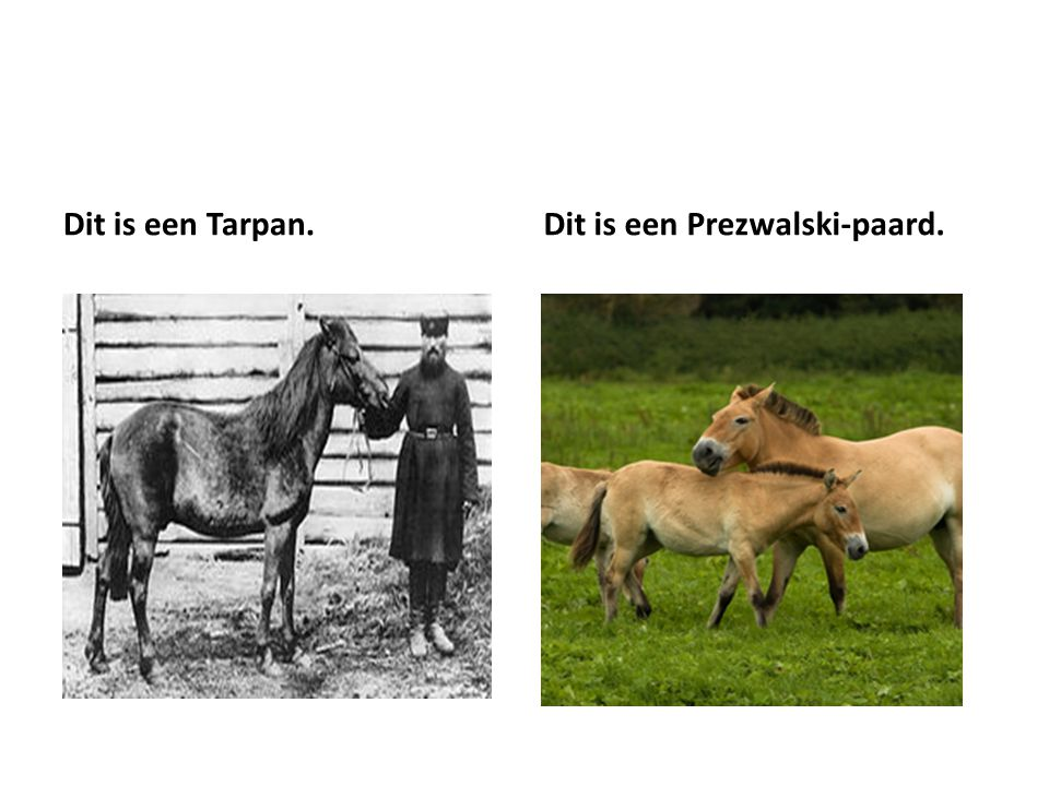 Dit is een Tarpan.Dit is een Prezwalski-paard.