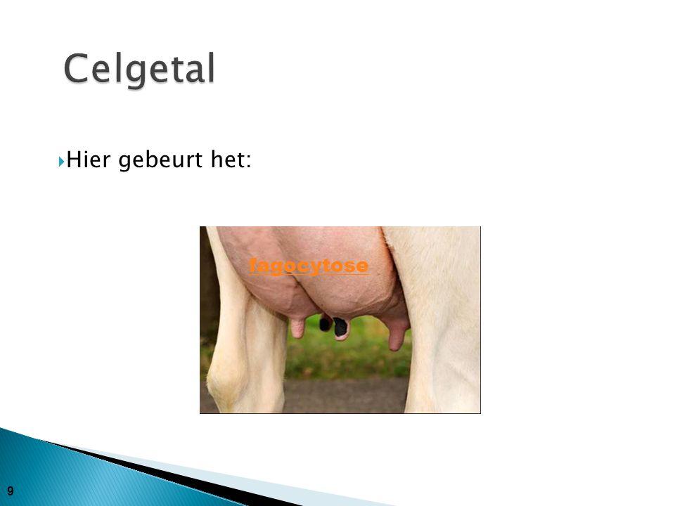 10 Achterkwartier Tepelkanaal Rosette van Fürstenberg Tepelcisterne Kliercisterne Klierweefsel Melkader Lymfevaten Uierader Uierslagader Lymfeklier Hier gebeurt het!.