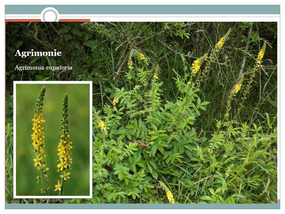 Agrimonie Agrimonia eupatoria