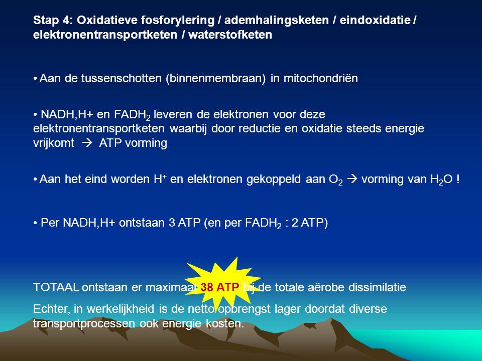 Stap 4: Oxidatieve fosforylering / ademhalingsketen / eindoxidatie / elektronentransportketen / waterstofketen Aan de tussenschotten (binnenmembraan)