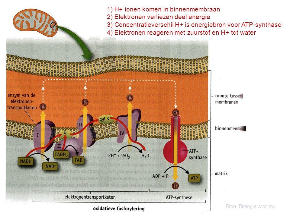 1) H+ ionen komen in binnenmembraan 2) Elektronen verliezen deel energie 3) Concentratieverschil H+ is energiebron voor ATP-synthase 4) Elektronen rea