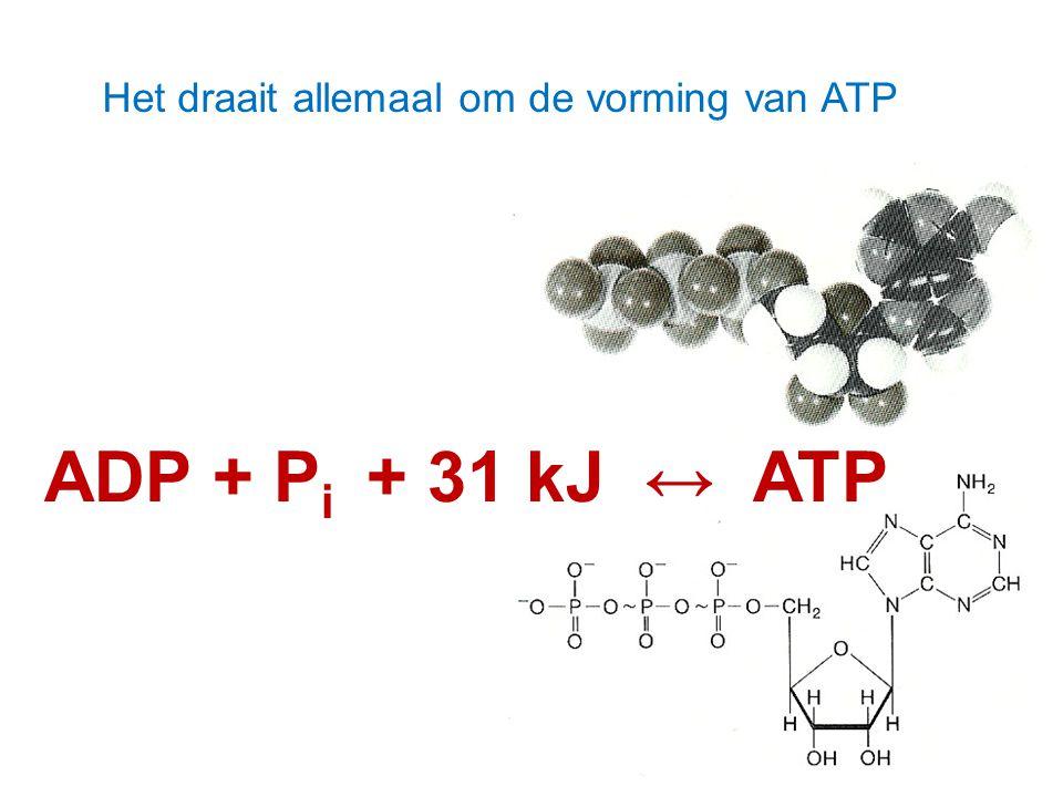 Het draait allemaal om de vorming van ATP ADP + P i + 31 kJ ↔ ATP