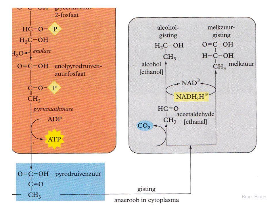 Er is wel O 2 : Aërobe dissimilatie Dan volgen stap 2, 3 en 4 die grotendeels in de mitochondriën plaatsvinden