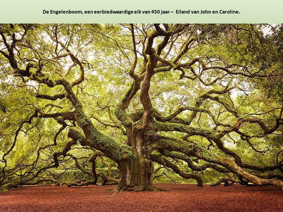 De Engelenboom, een eerbiedwaardige eik van 450 jaar – Eiland van John en Caroline.