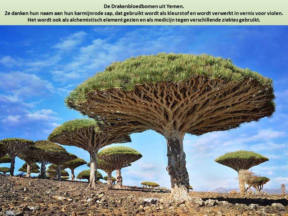 De Drakenbloedbomen uit Yemen. Ze danken hun naam aan hun karmijnrode sap, dat gebruikt wordt als kleurstof en wordt verwerkt in vernis voor violen. H