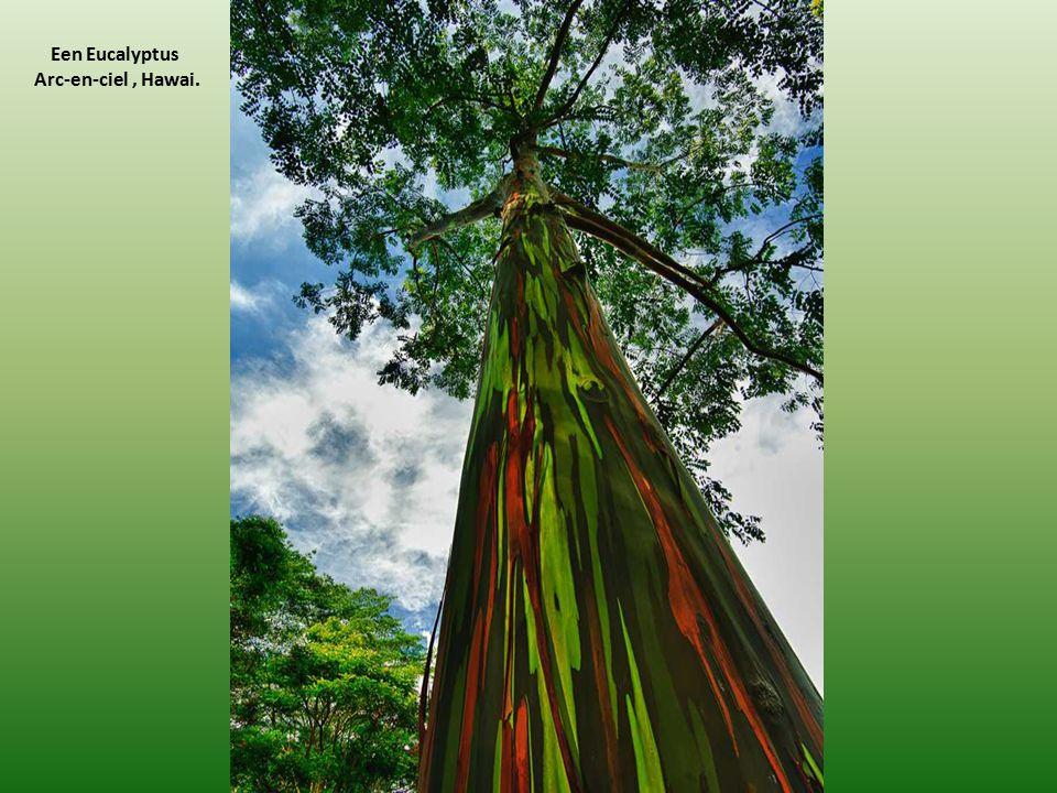Een Eucalyptus Arc-en-ciel, Hawai.