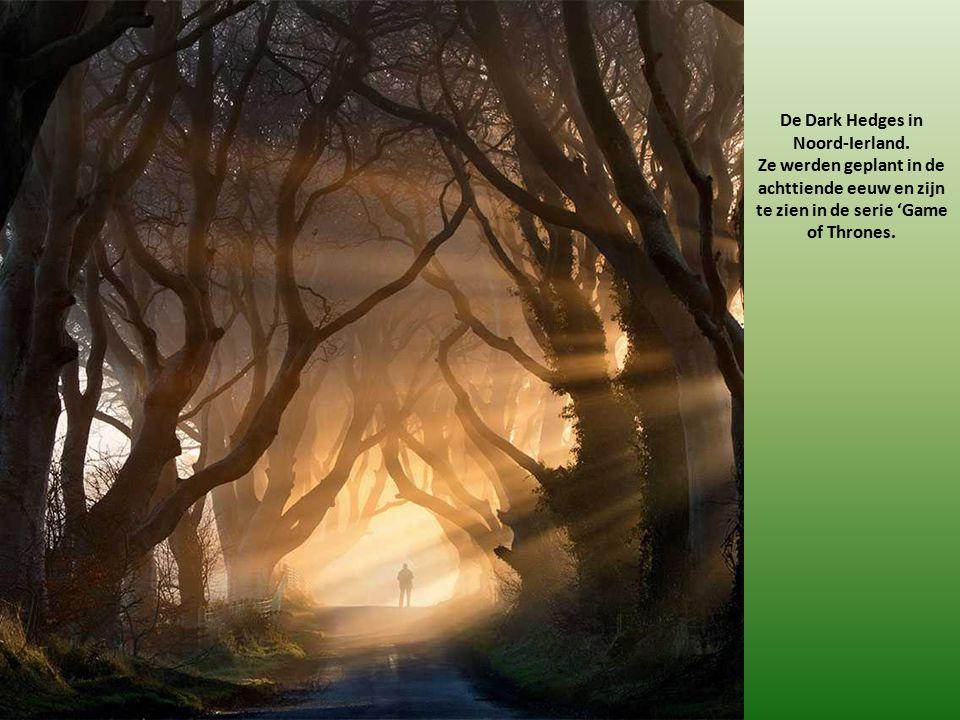 De Dark Hedges in Noord-Ierland. Ze werden geplant in de achttiende eeuw en zijn te zien in de serie 'Game of Thrones.