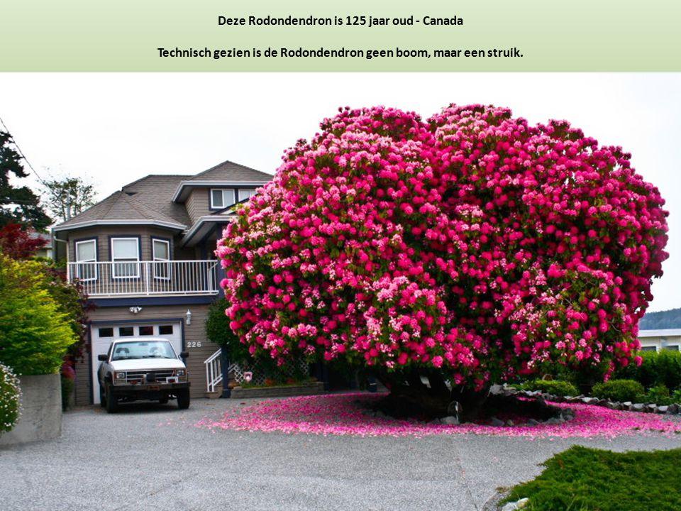Deze Rodondendron is 125 jaar oud - Canada Technisch gezien is de Rodondendron geen boom, maar een struik.