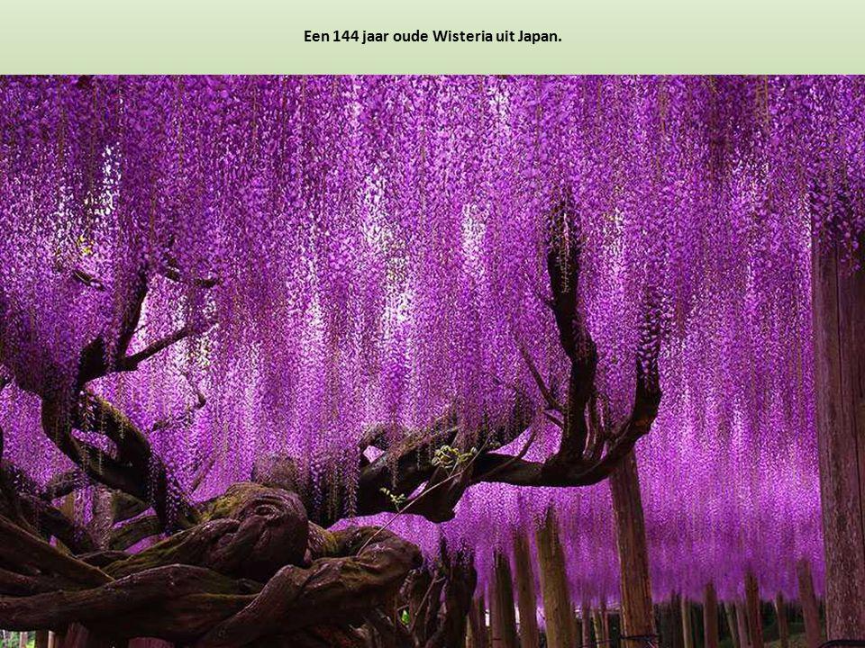 Een 144 jaar oude Wisteria uit Japan.