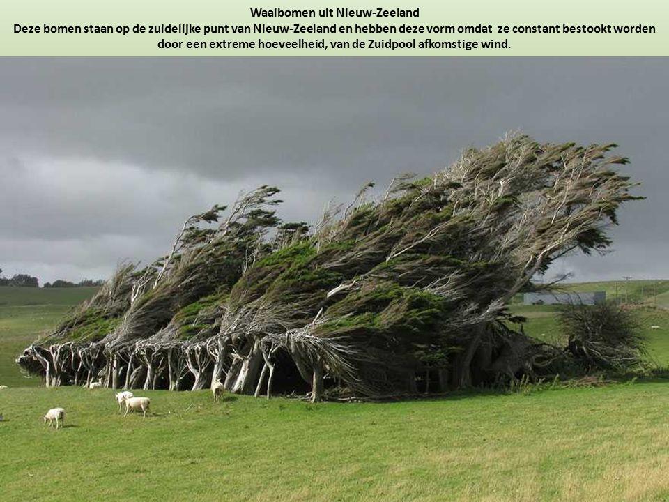 Waaibomen uit Nieuw-Zeeland Deze bomen staan op de zuidelijke punt van Nieuw-Zeeland en hebben deze vorm omdat ze constant bestookt worden door een ex