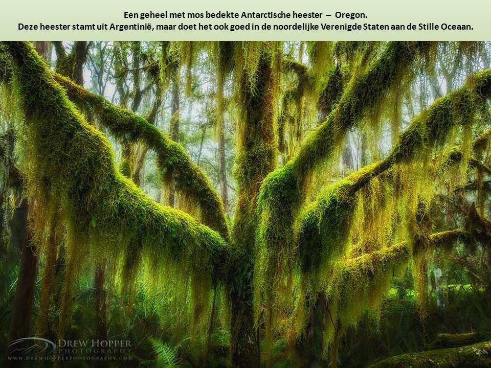 Een geheel met mos bedekte Antarctische heester – Oregon. Deze heester stamt uit Argentinië, maar doet het ook goed in de noordelijke Verenigde Staten