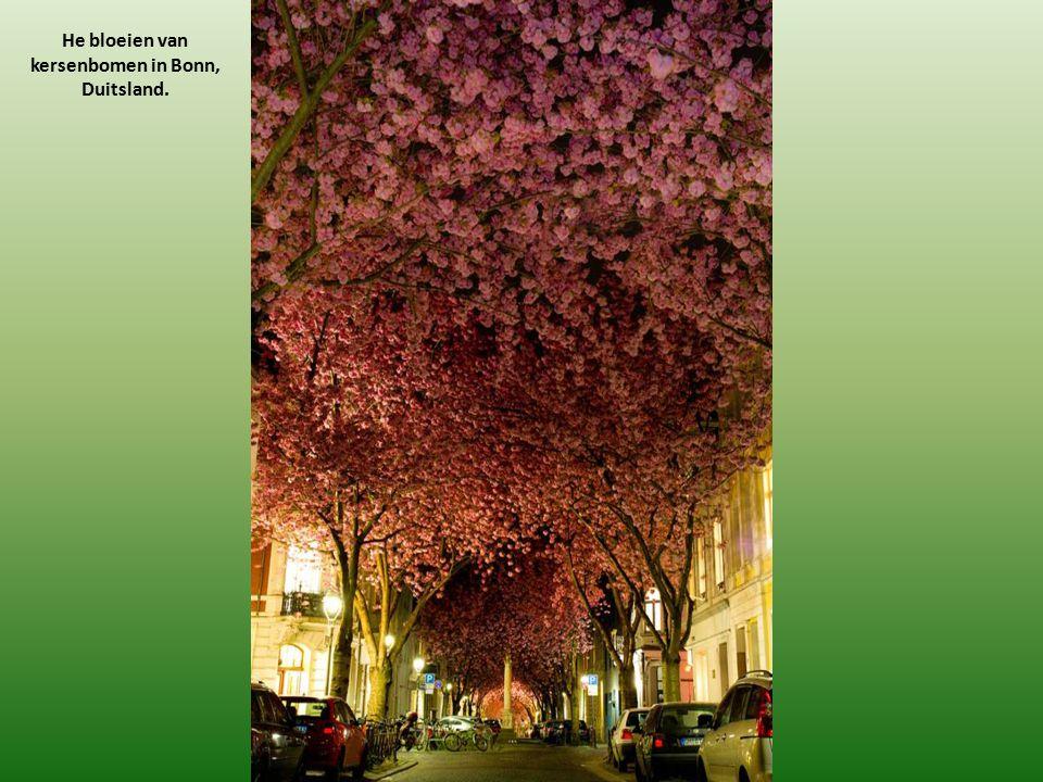 He bloeien van kersenbomen in Bonn, Duitsland.