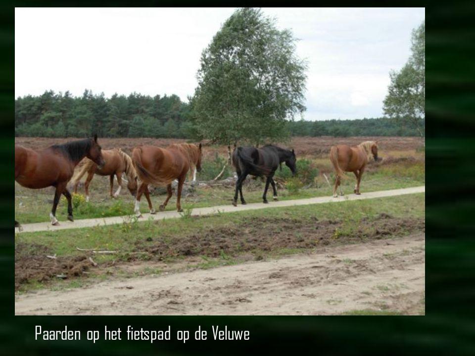 http://www.zeeuwseschaapskudde.nl Nieuwsgierige koeien op een dijkje bij Nisse (Zuid Beveland). Daar kun je ook de schaapskudde tegenkomen.