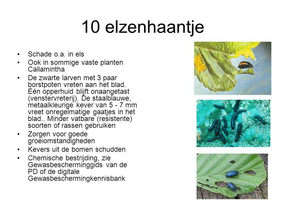 10 elzenhaantje Schade o.a. in els Ook in sommige vaste planten Callamintha De zwarte larven met 3 paar borstpoten vreten aan het blad. Één opperhuid