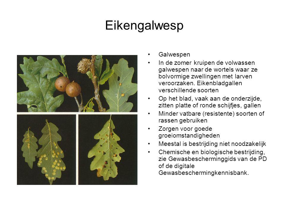 Galwespen In de zomer kruipen de volwassen galwespen naar de wortels waar ze bolvormige zwellingen met larven veroorzaken. Eikenbladgallen verschillen
