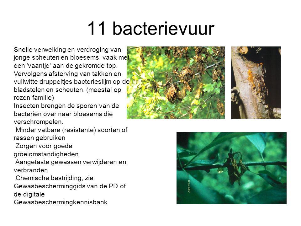 11 bacterievuur Snelle verwelking en verdroging van jonge scheuten en bloesems, vaak met een 'vaantje' aan de gekromde top. Vervolgens afsterving van