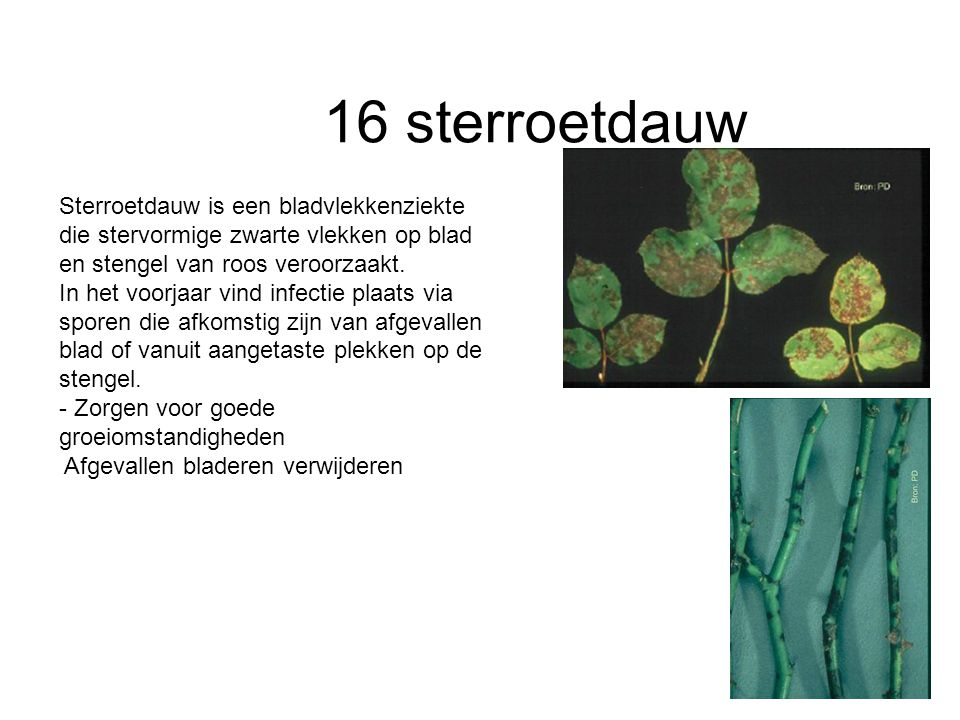 16 sterroetdauw Sterroetdauw is een bladvlekkenziekte die stervormige zwarte vlekken op blad en stengel van roos veroorzaakt. In het voorjaar vind inf