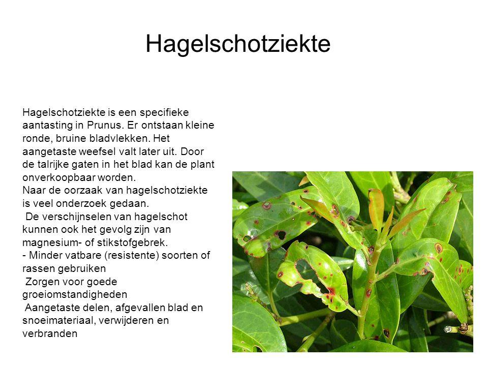 Hagelschotziekte is een specifieke aantasting in Prunus. Er ontstaan kleine ronde, bruine bladvlekken. Het aangetaste weefsel valt later uit. Door de