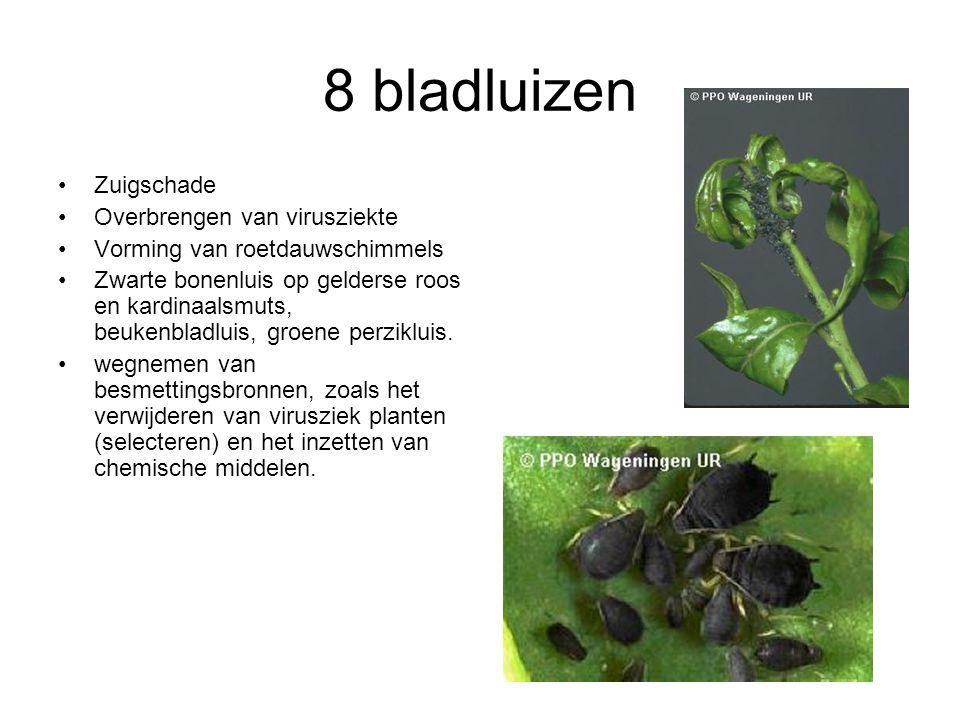 8 bladluizen Zuigschade Overbrengen van virusziekte Vorming van roetdauwschimmels Zwarte bonenluis op gelderse roos en kardinaalsmuts, beukenbladluis,