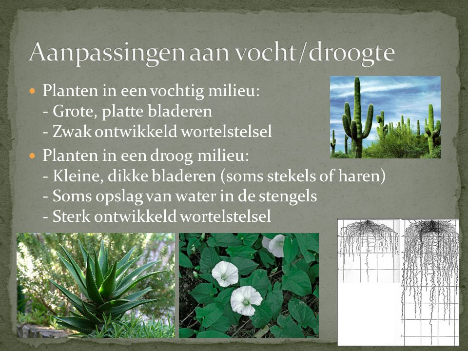 Planten in een vochtig milieu: - Grote, platte bladeren - Zwak ontwikkeld wortelstelsel Planten in een droog milieu: - Kleine, dikke bladeren (soms st
