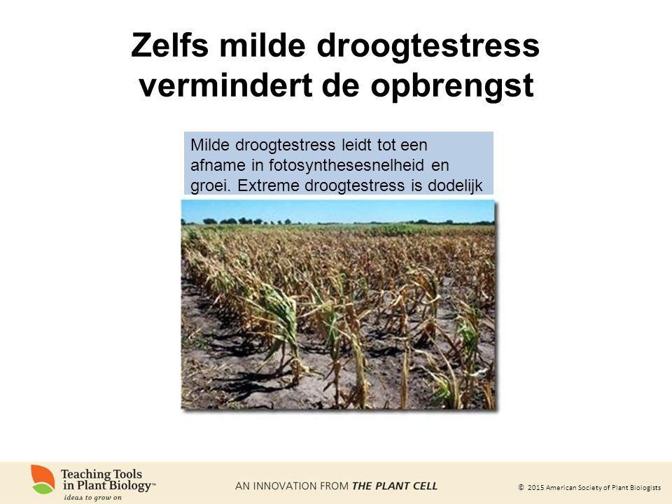 © 2015 American Society of Plant Biologists Zelfs milde droogtestress vermindert de opbrengst Milde droogtestress leidt tot een afname in fotosynthesesnelheid en groei.
