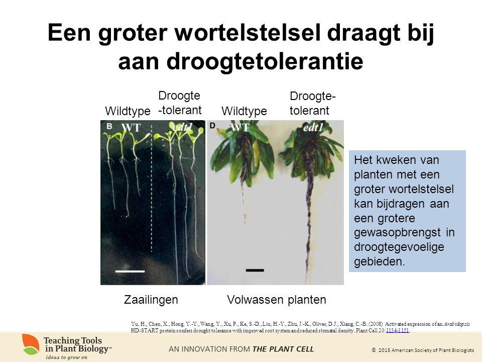 © 2015 American Society of Plant Biologists Een groter wortelstelsel draagt bij aan droogtetolerantie ZaailingenVolwassen planten Wildtype Droogte- to