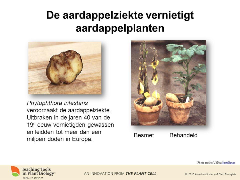 © 2015 American Society of Plant Biologists De aardappelziekte vernietigt aardappelplanten Phytophthora infestans veroorzaakt de aardappelziekte. Uitb