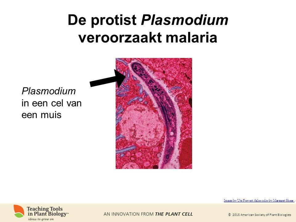 © 2015 American Society of Plant Biologists De protist Plasmodium veroorzaakt malaria Plasmodium in een cel van een muis Image by Ute Frevert; false color by Margaret Shear.