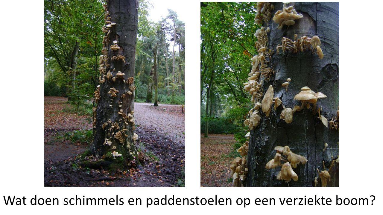 Wat doen schimmels en paddenstoelen op een verziekte boom