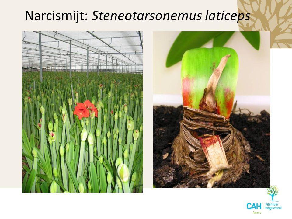 Narcismijt: Steneotarsonemus laticeps