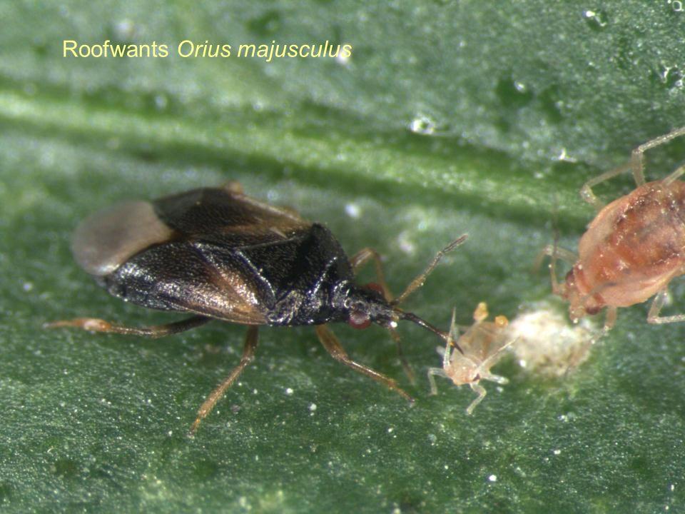 Roofwants Orius majusculus