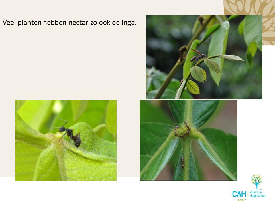 Veel planten hebben nectar zo ook de Inga.