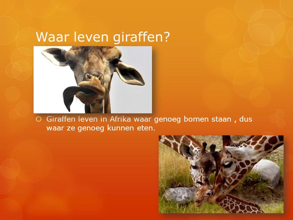 Waar leven giraffen?  Giraffen leven in Afrika waar genoeg bomen staan, dus waar ze genoeg kunnen eten.